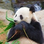10765600-oso-panda-gigante-comiendo-hojas-de-bambu